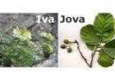 Koje je ime srbskije, Ivan ili Jovan?